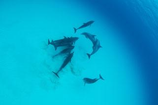 絡み合いをしているようなバハマのイルカ達の写真