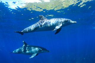 御蔵島のイルカ2頭と御蔵島の島影