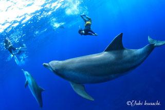 トビウオを追いかけて捕食する御蔵島のイルカ写真