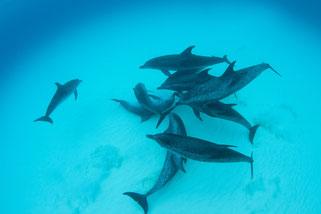 バハマの水底に集まるイルカの群れの写真
