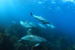 群れで泳ぐ利島のイルカ達