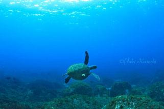 利島ドルフィンスイム:利島の海とカメ