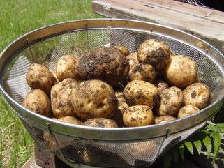 土つきジャガイモ