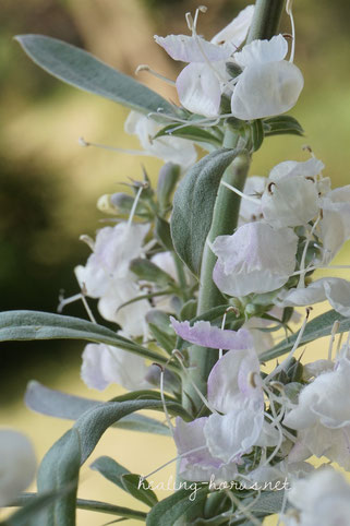 ホワイトセージの花