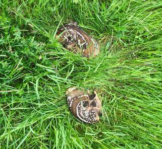 Zwei Rehkitze liegen im hohen Gras.