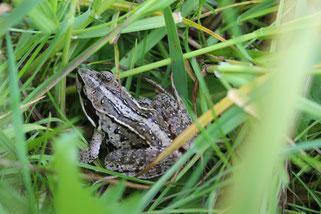 Der Moorfrosch ist in den nun nasser gewordenen Moorwiesen wieder häufiger zu finden