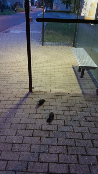 Hohenheida: Der Tod dieses Amselpärchens ist besonders tragisch - sie verunglückten zur Brutzeit, sodass auch ihre Jungen qualvoll starben. Fotos: NABU Leipzig