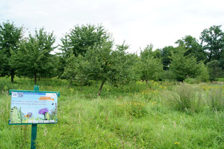 """Die NABU-Streuobstwiese Knauthain wird im Rahmen des sächsischen Tagfalterprojekts """"Puppenstuben gesucht"""" insektenfreundlich gepflegt."""