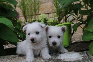 Chiot Westie Disponible Elevage De Cairn Terrier Elevage De Westie