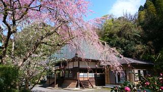 桜の季節の西琳寺本堂 いつでも自由にご参拝できます