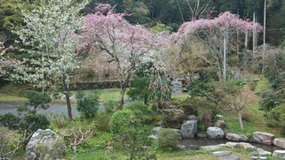 桜の季節の西琳寺境内庭園 古寺ならではの静けさです