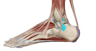 足首の靭帯(外側)