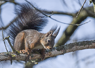 Bild: Eichhörnchen, Bühler Tal (Antje Trapp-Frank)