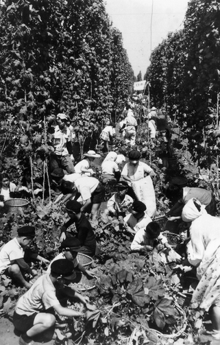 平岸にあったホップ園(1959年8月13日北海道新聞より)