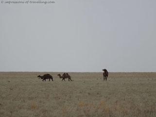 Kamele in der Wüste von Kasachstan