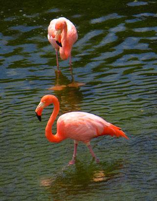 Es gibt auf dem Galapagos Archipel ungefähr 500 Flamingos.
