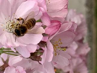 Bienenblüte christina©balanceYou