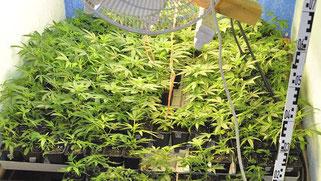 Indoor Cannabis Hanf Anbau. Hanf im Wachstum