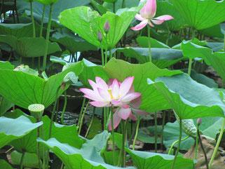 大沢池の蓮の花