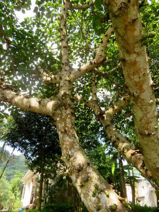 オオバイチジクの大木。