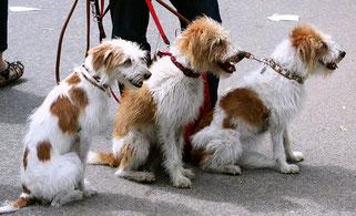trois petits chiens marrons et blancs assis en bout de laisse par coach canin 16 éducateur canin en charente