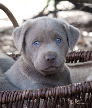 Labradorzucht Silverlabs Of Blue Fairytale Kontakt Labradorzucht Schaumburg Kinerfreundliche Labradorwelpen Silber Charcoal Champagner