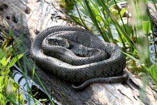 Schlangen und Schleichen