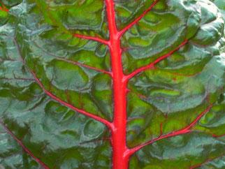 grünes Mangoldblatt mit knallrotem Stiel und Adern als Symbol für Naturheilkunde