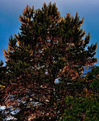 30. Mai 2014 - Kurz vor Pfingsten - Ein Weihnachtsbaum? (Abendsonne fällt nach Regenschauer in die tropfnassen Äste)