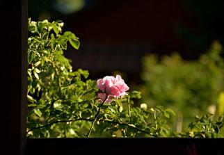 24. Juni 2014 - Vor meinem  Fenster - Botschafteerin der Liebe und noch viel mehr ...