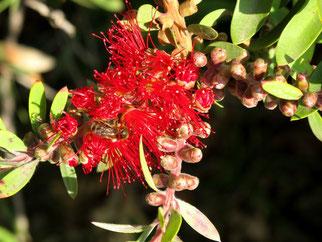 13. Februar 2014 - Auch Blüten im Wnter locken Bienen an