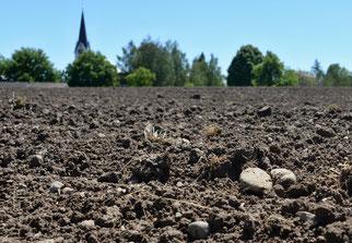 24. Mai 2014 - In jedem bestellten Acker liegen auch Steine