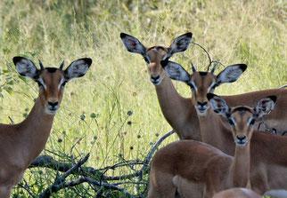 22. März 2014-Weder Hirsch noch Reh -Impalas (in Boswana)