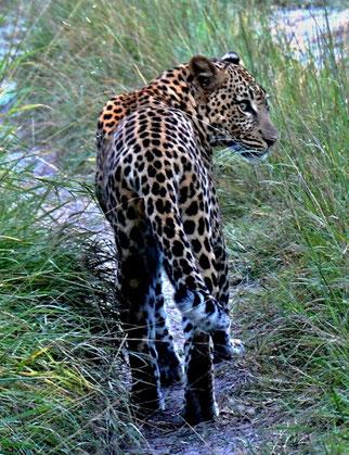 31. März 2014 - Leopard auf freier Wildbahn