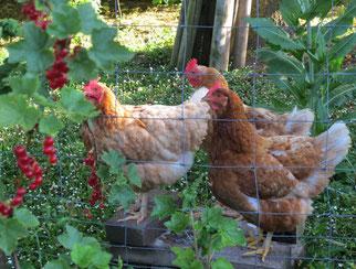 11. Juni 2014 - Die süssesten Früchte fressen nur die grossen Tiere...