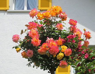 06. Juni 2014 - Wenn du eine Rose schaust, sag, ich lass sie grüssen  (Heinrich Heine)