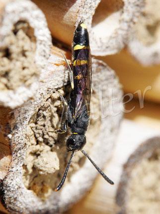 Bild: Keulhornwespe, Sapyga clavicornis, ein Schmarotzer bei der Hahnenfuß-Scherenbiene