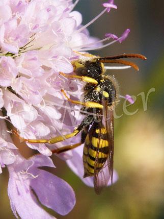 Bild: eine Wespenbiene, ein Brutparasit meist bei Sandbienen