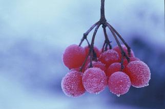 Viorne en fruits