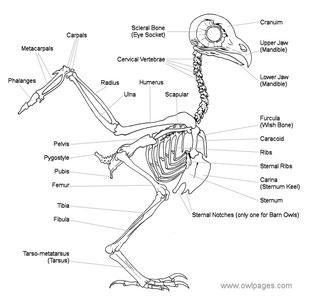 フクロウの骨格!なんか・・違うよね!! 出展:owlpages.com
