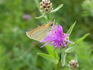 Schmetterlings-Imago