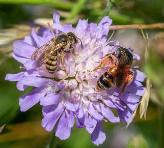 Witwenblume mit Wildbienen (Foto: Ursula Gönner/ naturgucker.de)