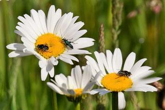 Margeriten mit Schenkelkäfer und Augenfleck-Schwebfliegen (Foto: Rolf Jantz/ naturgucker.de)