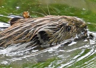 (Foto: Hans Schwarting/ naturgucker.de)