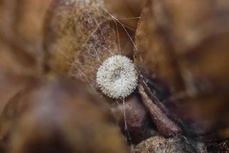 Schmetterlings-Ei