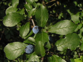 Blätter der Schlehe/Schwarzdorn