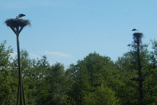 In zwei auf hohen Pfählen untergebrachten Nestern steht je ein Storch. dazwischen sind grün bewachsene Bäume zu sehen.