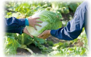 白菜を手渡す
