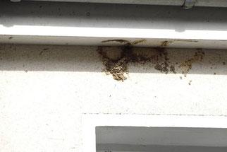 So wie hier an einem Gebäude in Leipzig-Knauthain kommt es leider immer wieder vor, dass Mehlschwalbennester illegal abgeschlagen werden. Foto: Beatrice Jeschke
