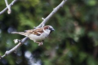 Haussperling auf Platz eins der Vogelzählung  Foto: NABU/Günter Lessenich